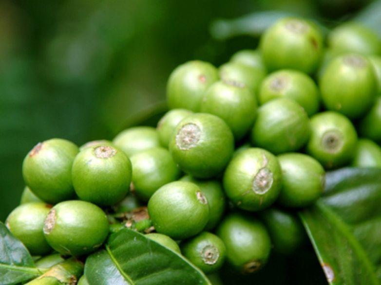Café verde con jengibre Sadiet